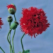 Papaver Scarlet  Paeony - Appx 2000 seeds